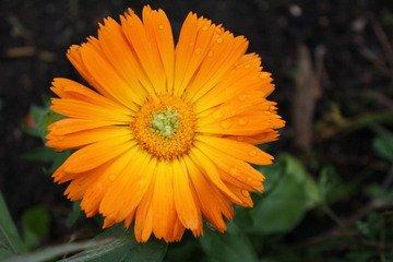 marigold petal