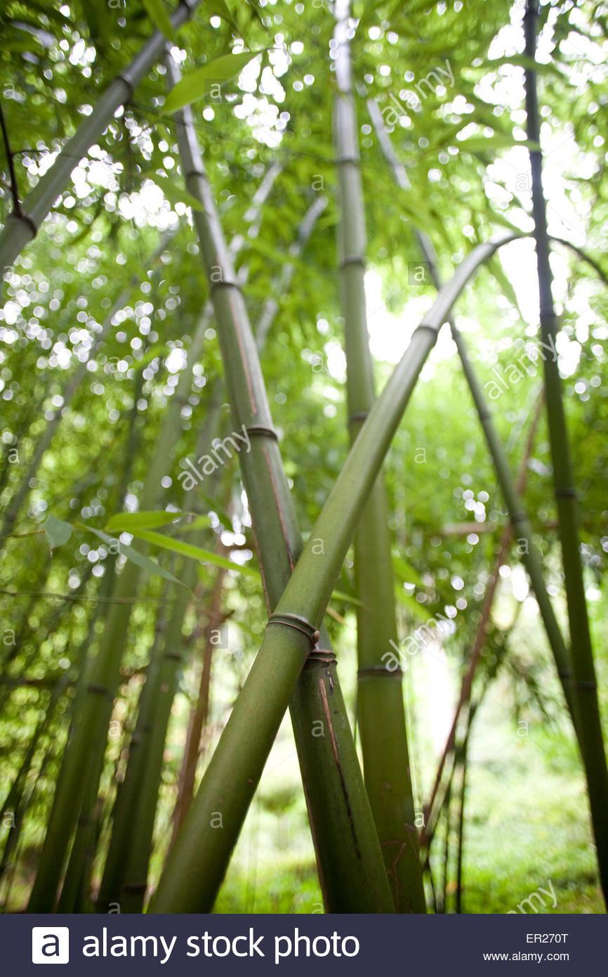 europe germnay cologne bamboo at the forstbotanischer garten an arboretum ER270T