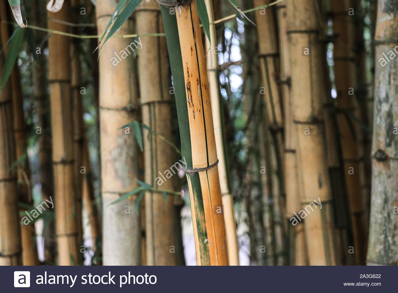 bamboo love 2A3G622
