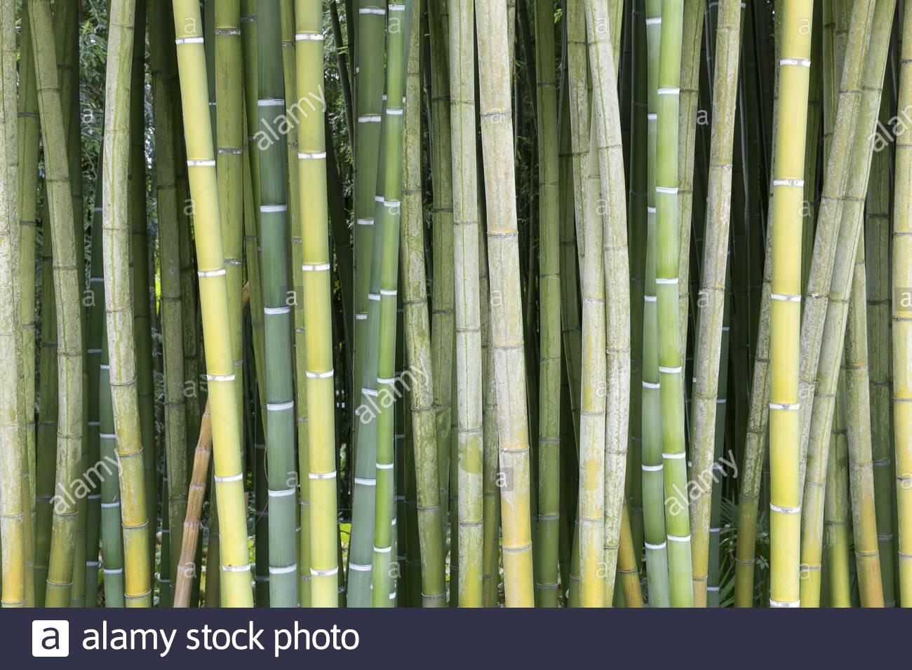 fresh green bamboo 2ADBB0T