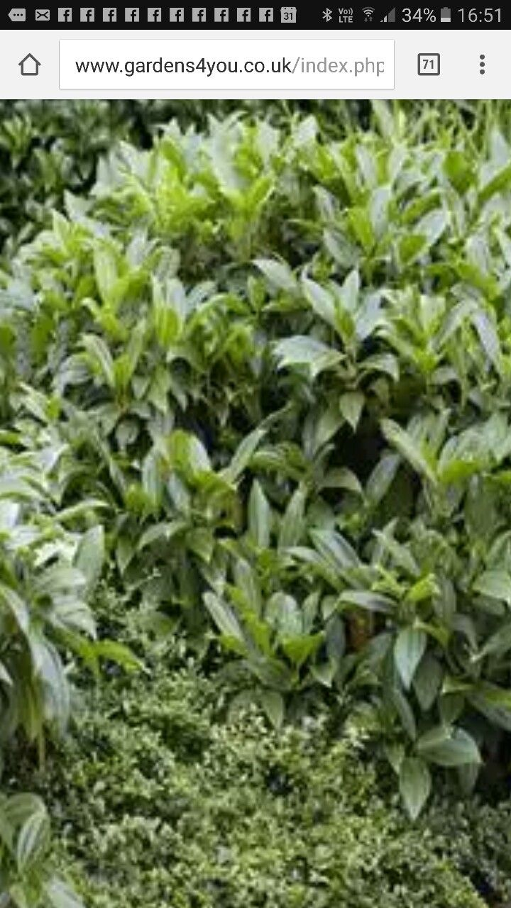 Beetbepflanzung Ideen Frisch Vibena Davidii Backgarden
