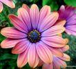 Beetbepflanzung Ideen Frisch Zion African Daisy