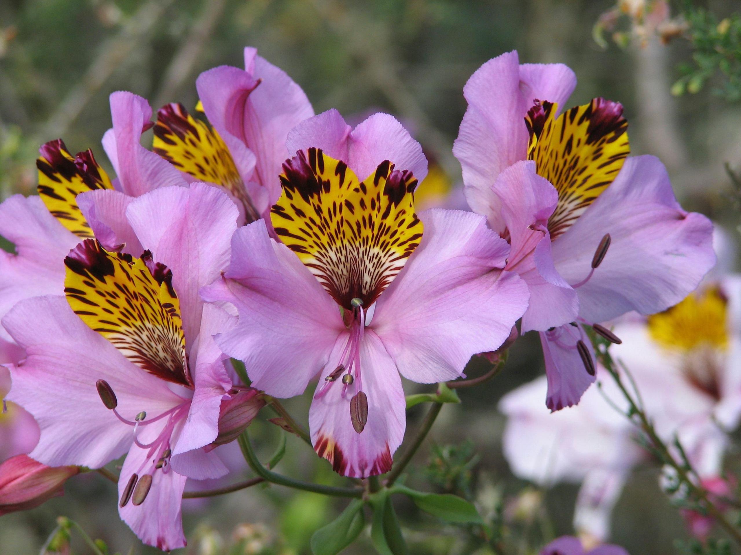 Beetbepflanzung Ideen Schön Alstroemeria Magnifica Herb Ssp Magnifica