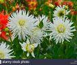 Bilder Garten Elegant Close Up Od Dahlia Polar Sight In A Flower Garden Stock