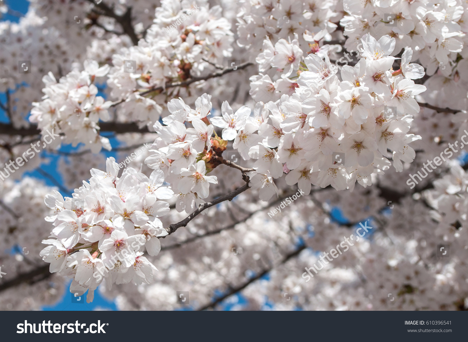stock photo closeup od cherry blossom in a japanese garden