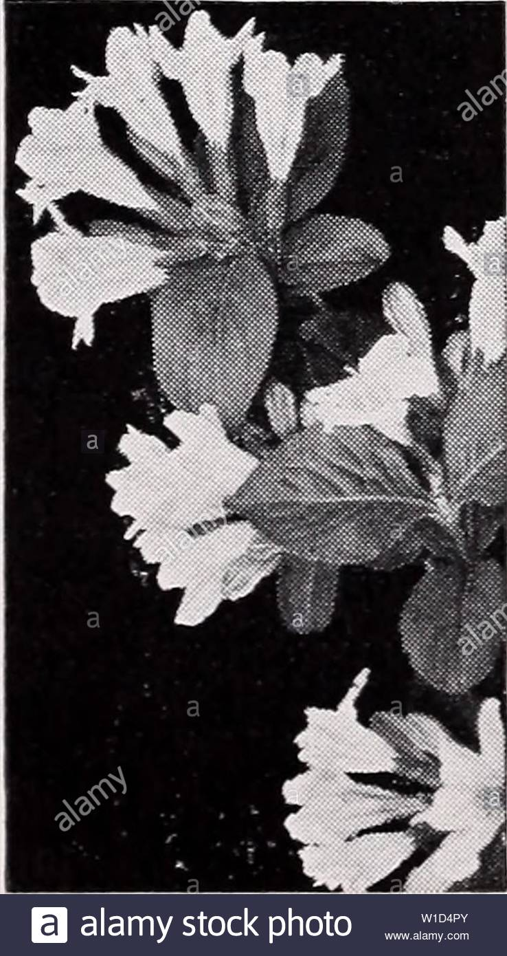 archive image from page 9 of descriptive price list 1935 descriptive price list descriptiveprice00cmho 1 year 1935 rvilla eva rathke rvilla weigela rvilla candida produces a profusion of pure white flowers in june and continues to bloom all summer a choice variety grows 4 to 6 feet each 10 2 to 3 ft 050 400 3 to 4 ft 60 500 d eva rathke of smaller growth than the other weigelas 3 to 4 feet and spreading in character the most distinct and one of the most attractive varieties flowers bril liant crimson and when in bloom in june is exceedingly showy each 10 12 W1D4PY