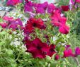 Chinesische Gartendeko Inspirierend Петунии Цветы