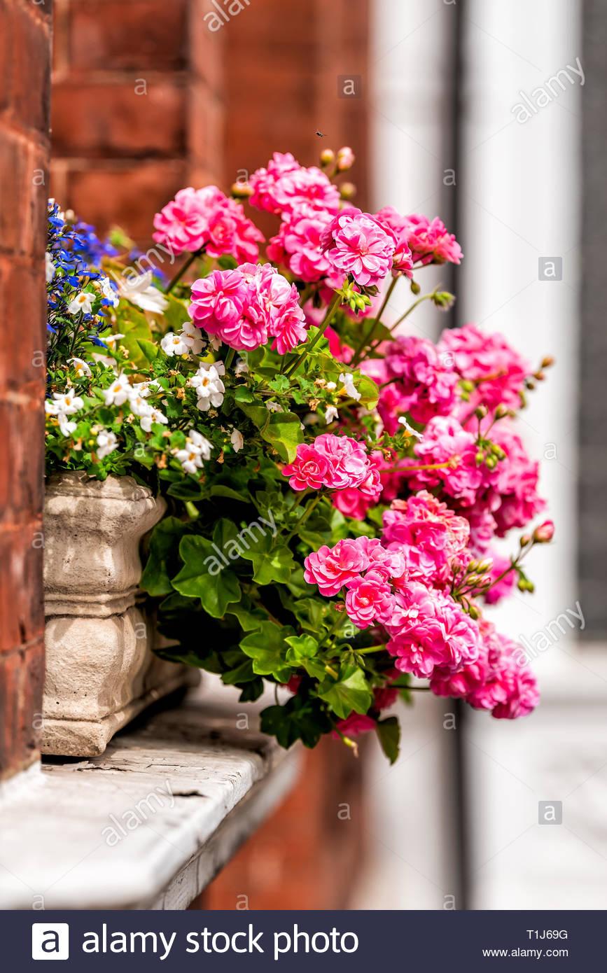 rosa blume warenkorb box dekoration auf sommer tag mit backstein architektur in chelsea london uk fenster t1j69g