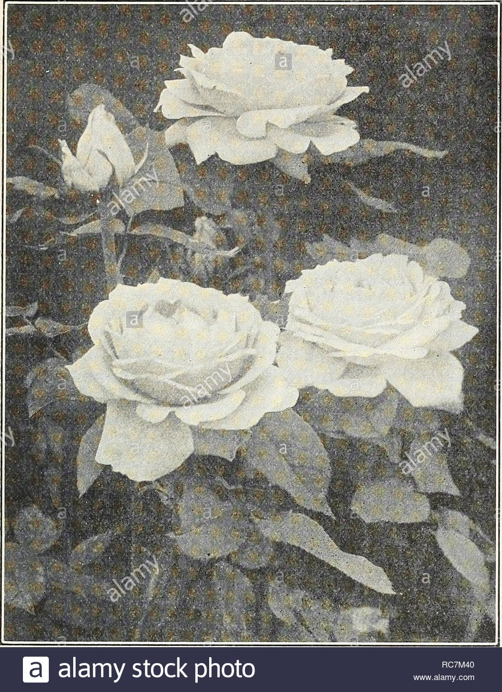 dreers garden roses for autumn planting roses seeds catalogs nursery stock catalogs flowers seeds catalogs flehiyail select tvoses gthimbeliphrlk 13 new hybrid perpetual rose mme albert barbibr mrs john laing soft pink of splendid form exceedingly fragrant and very free flowering mrs r g sharman crawford deep rosy pink outer petals shaded with flesh one of the freest bloomers and a splen did rose in every respect price any of the above in strong two year old dormant plants special offer one each of the above 16 varieties a splendid collection of these absolutel RC7M40