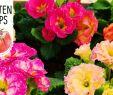 Dekoideen Garten Elegant Diy Frühlingsbepflanzung Mit Bunten Primeln Frühlingserwachen Volmary Gartentipps