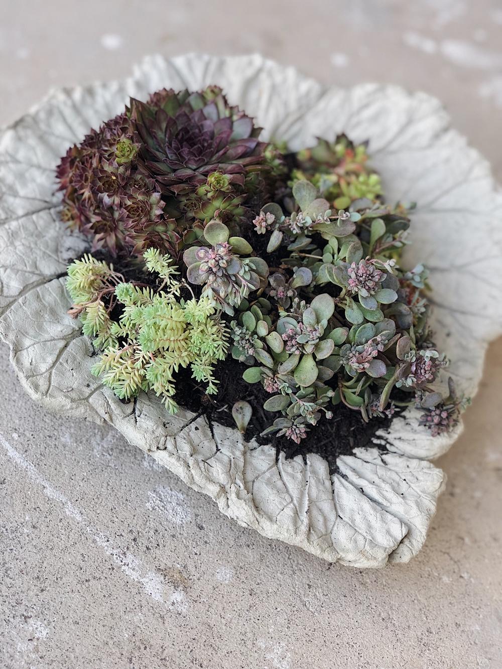 Pflanzschalen aus Rhabarberblättern für den Garten garten diy basteln gartengestaltung garteninspiration steingartengewächs beton diy selbstgemacht fashionkitchen 42 JPG