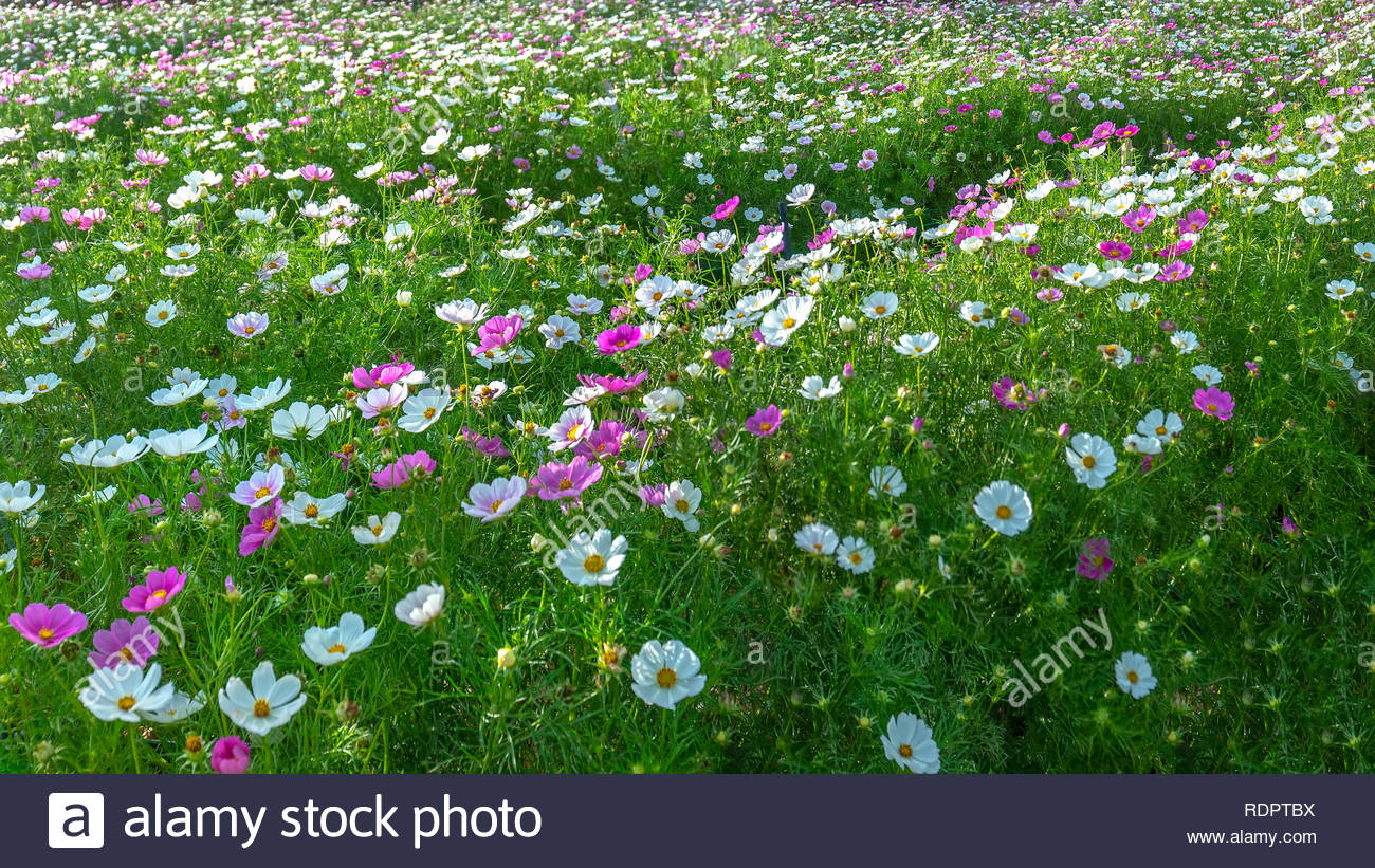 cosmos bipinnatus flowers shine in the flower garden with colorful shimmering bonsai and beautiful this flower is like stars sparkling in the sky RDPTBX