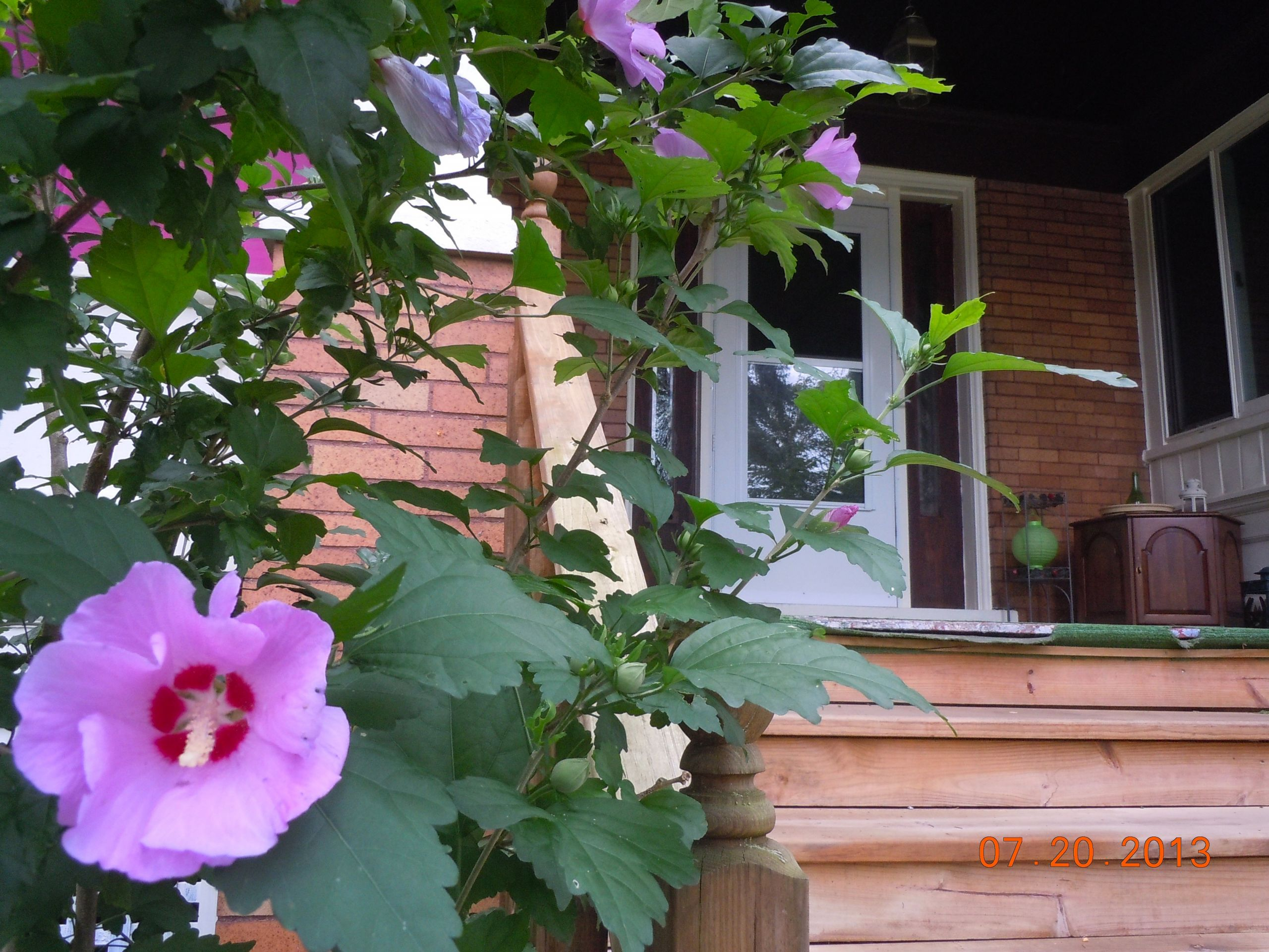 hibiscus blooms at the front yard 41