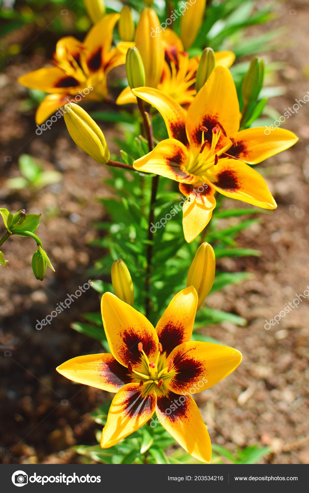 depositphotos stock photo yellow lily flower buds blurred