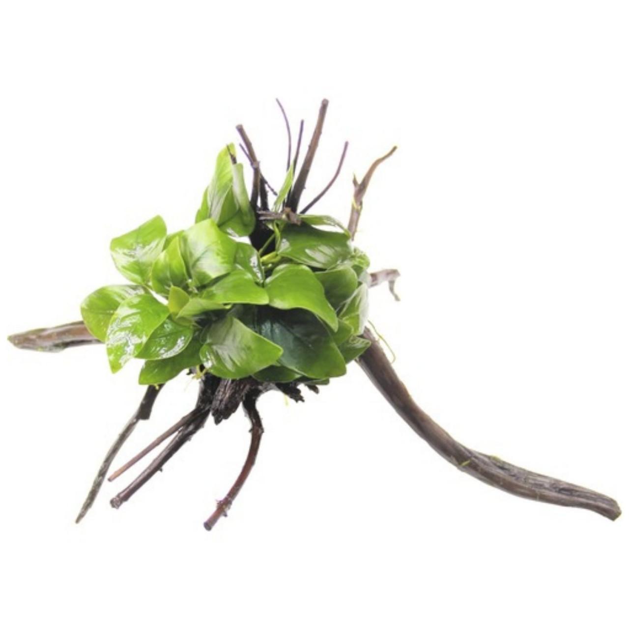 dennerle anubias nana spiderwood va 1280x1280