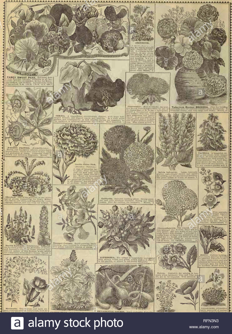rh shumways illustrated garden guide nursery stock illinois rockford catalogs flowers seeds catalogs ve ables seeds catalogs maiiramlia the neateat and moat ele gant climljing plant in cultivation both foi trellis oxit doora or gi eenhousc or imrlor culture also for hanging baskets vases ampc elegant and various colored beauttfnl flow era producing a striking effect mixed 5 castor bean ricinu8 ornamental csferine jhlivi w1 t cur oity valuable foliage 9tatclygi ovthshowftuitjnves a arersil7tmsnvl uatlon au largest fancy var RFN3N3