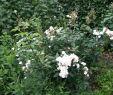 Garten Bepflanzung Inspirierend Weisse Rose Garten In Zonhoven Cclaudia