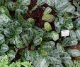 Garten Frisch ФайРMaranta Cristata Maranta Bicolor Botanischer Garten