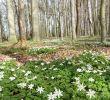 Garten Ideen Bilder Schön Buschwindröschen Wald Frühling Meine Fotos