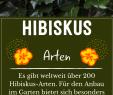 Garten Ideen Gestaltung Neu Hibiskus Alle Tipps Für Perfekte Blüte