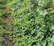 Garten Luxus File Horngurke Kiwano Cucumis Metuliferus Im Garten