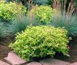 Garten Modern Bepflanzen Luxus Japanische Spiräe Goldflame • Spiraea Japonica Goldflame