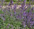 Garten Pflanzen Luxus 1x Staude Pflanze Katzenminze Six Hills Giant Nepeta