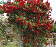 Garten solar Deko Luxus ПРетистые и вьющиеся розы Обзор сортов фото