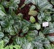 Gartenanlage Frisch ФайРMaranta Cristata Maranta Bicolor Botanischer Garten