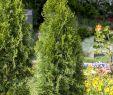 Gartenbedarf Onlineshop Elegant Abendländischer Lebensbaum • Thuja Occidentalis