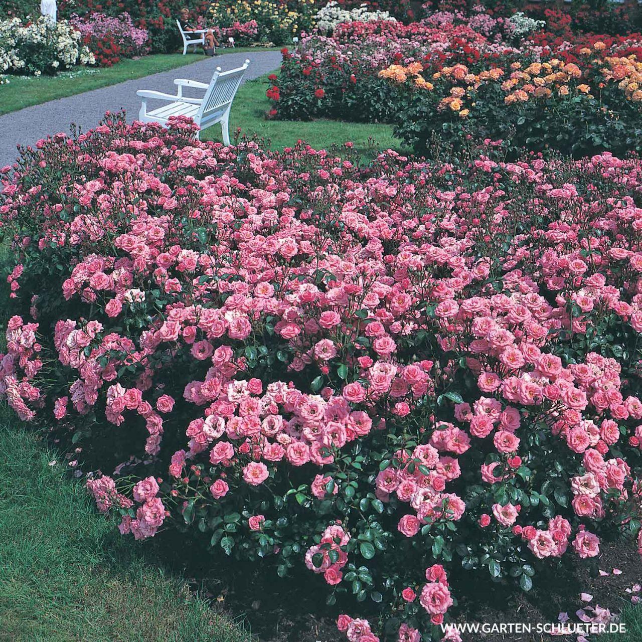 1 Beetrose Bella Rosa Rosa Bella Rosa 1280x1280
