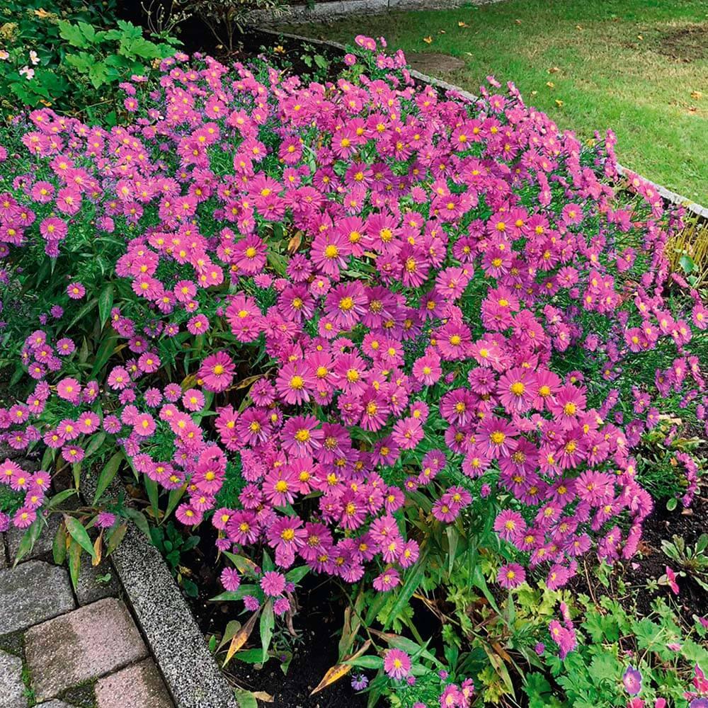 Gartenbedarf Onlineshop Neu Kissen aster Rosa
