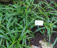 Gartenbilder Elegant File Chlorophytum Osum Botanischer Garten Heidelberg