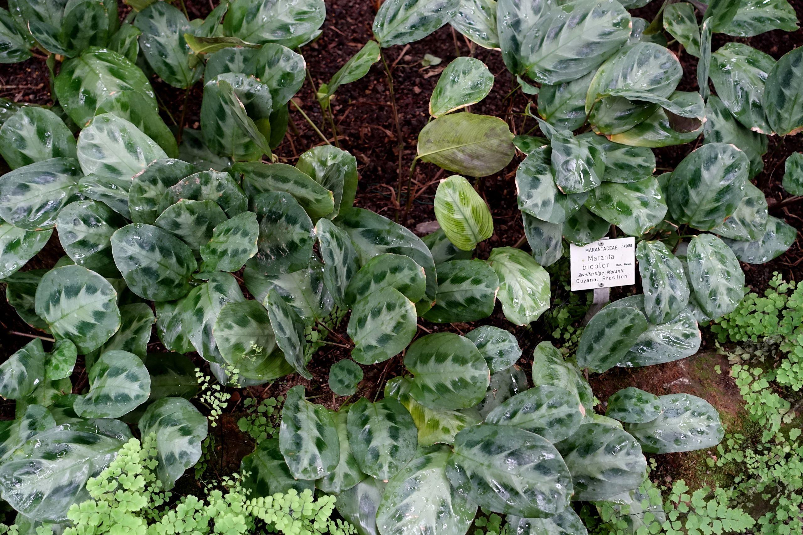 Maranta cristata Maranta bicolor Botanischer Garten Heidelberg Germany DSC