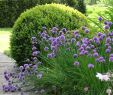 Gartencenter Best Of Small area Of Planting Alliums Against Buxus In Cottage