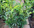 Gartencenter Elegant Kirschlorbeer Caucasica 120 140 Cm 6 Stck Kostenloser