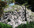 Gartencenter Frisch Paul S Himalayan Musk