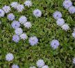 Gartencenter Schön Globularia Cordifolia Mon Name Blue Puff Globe Daisy