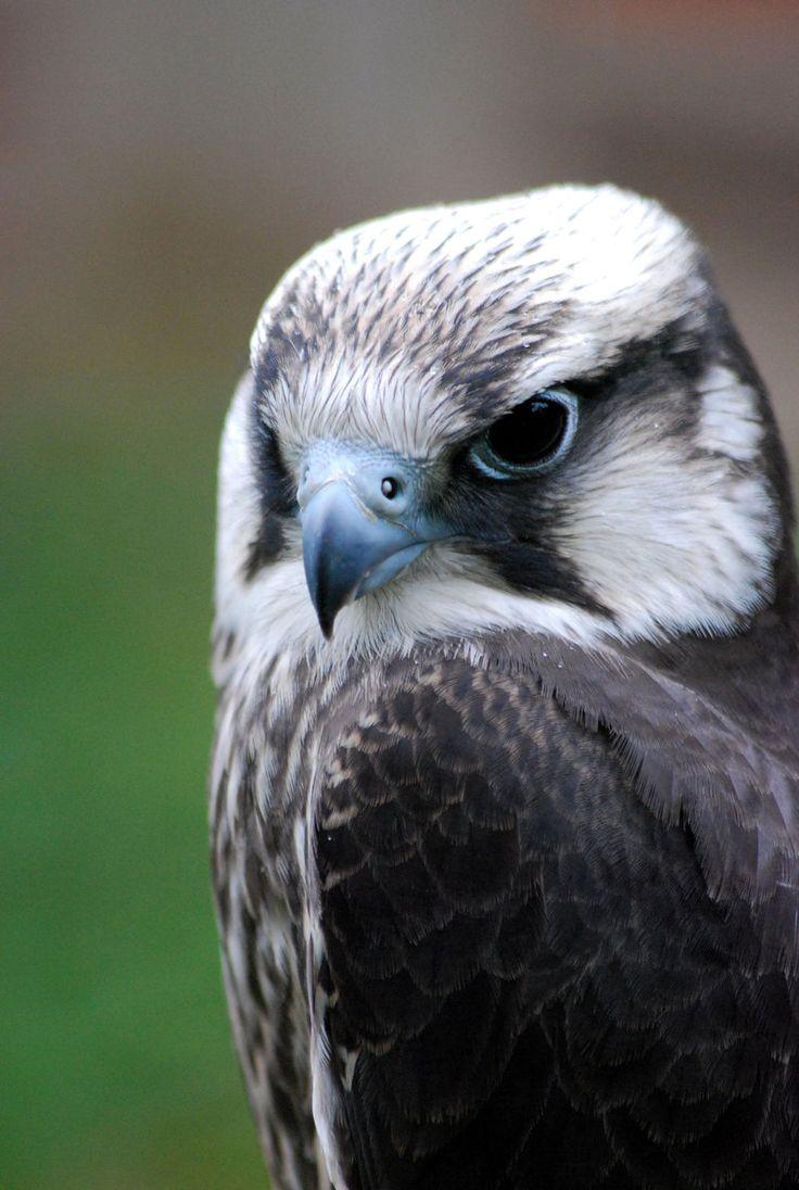 a4ccfa4b812d158b691c7d4796de9f76 animals photos falcons