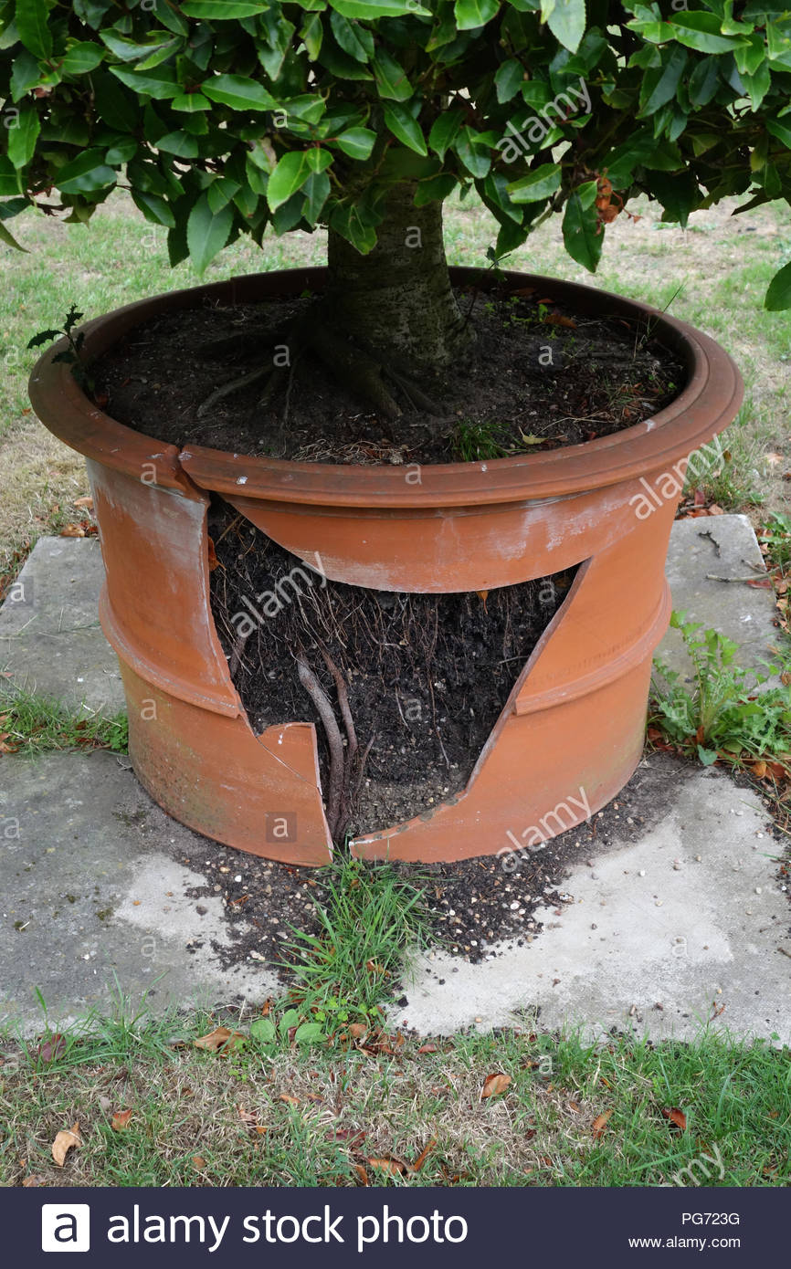 very large terracotta plant pot broken by the roots of a plant in a large english country house in nottinghamshire PG723G