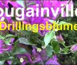 Gartenforum Einzigartig 29 Elegant Bougainvillea überwintern Im Wohnzimmer Genial