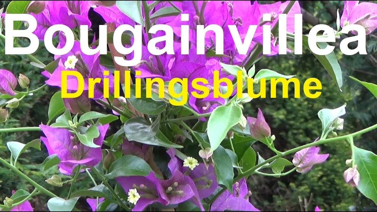 bougainvillea uberwintern im wohnzimmer frisch bougainvillea pflege standort giesen dungen vermehren of bougainvillea uberwintern im wohnzimmer