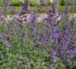 Gartengestaltung Pflanzen Einzigartig 1x Staude Pflanze Katzenminze Six Hills Giant Nepeta