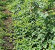 Gartengestaltung Pflanzen Elegant File Horngurke Kiwano Cucumis Metuliferus Im Garten