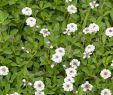 Gartenpflanzen Pflegeleicht Luxus Teppichverbene Summer Pearls Blütenrasen Ohne Mähen