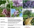 Gartenshop Online Inspirierend Edelflieder Charles Joly Syringa Vulgaris