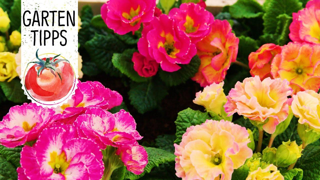 Gartentipps Schön Diy Frühlingsbepflanzung Mit Bunten Primeln Frühlingserwachen Volmary Gartentipps