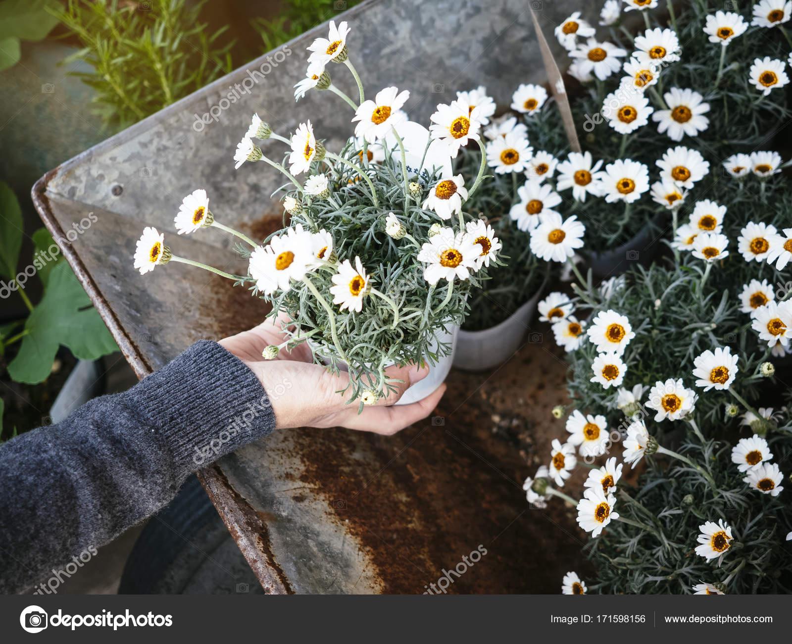 weie kleine blumen topfpflanzen mit hand haus garten stockfoto uber im topf pflanzen stock photo white small flowers pot plants