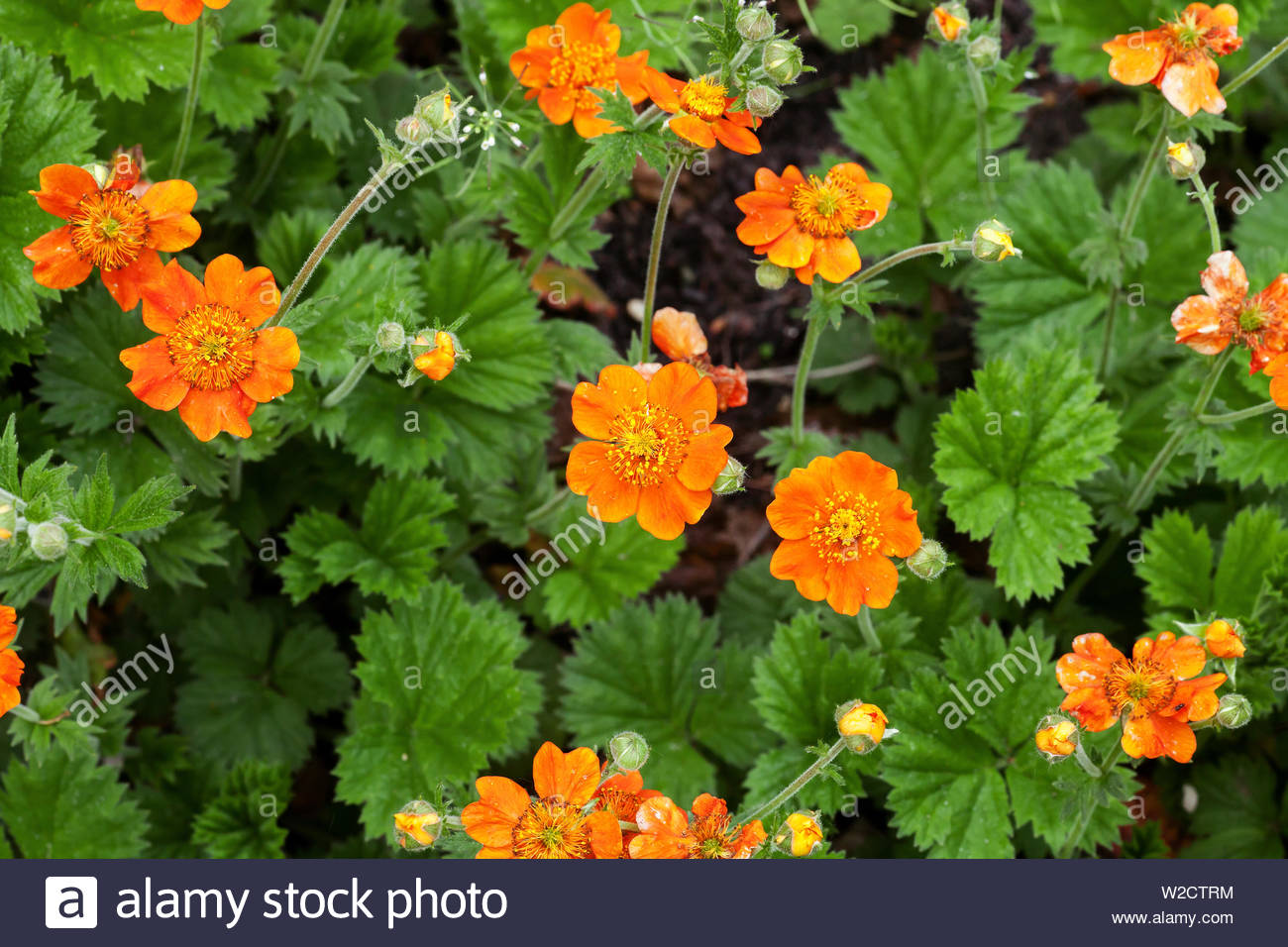 geum quellyon orange blumen wachsen im fruhling garten chilenische avens oder geum chiloense balb ex ser pflanzen ansicht von oben w2ctrm