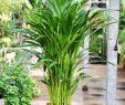 Ideen Vorgarten Best Of 31 Reizend Palme Wohnzimmer Frisch